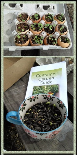 Sprout greens in truly biodegradable eggshell planters or use an old saucer cup for sunflower sprouts.