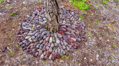 Trunk of pine tree surrounded by carefully laid out pine cones in a circular pattern by Leah Oviedo
